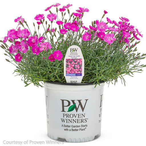 'Paint the Town Fuchsia' Pinks in container