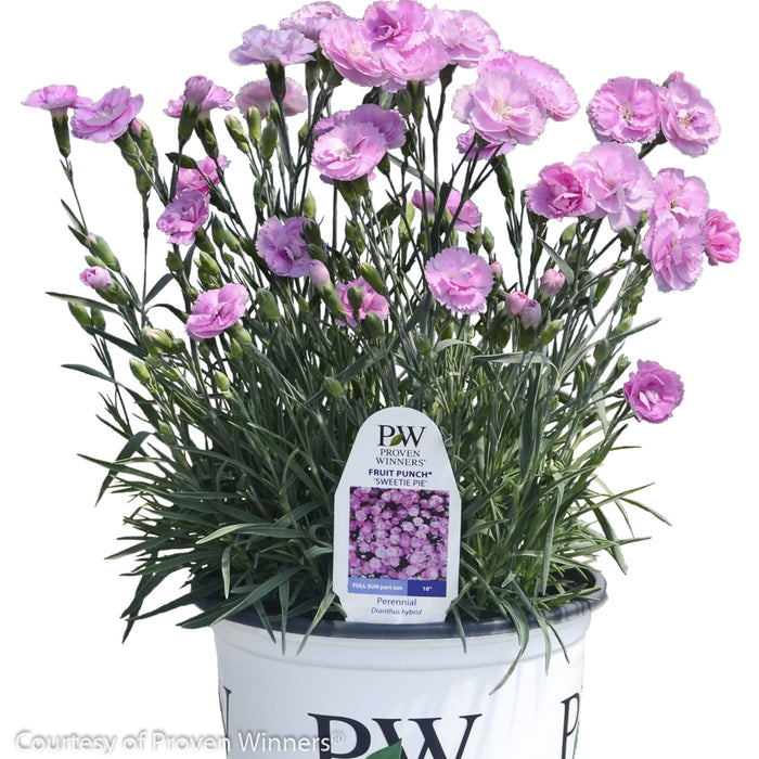 Fruit Punch® 'Sweetie Pie' Pinks in container