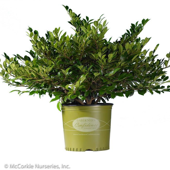 Emerald Heights® Distylium in container