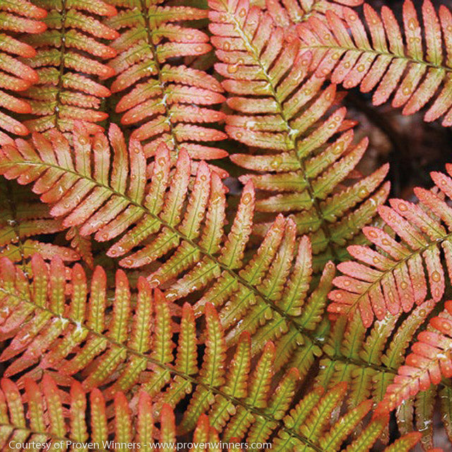 Autumn Fern up close, bloom
