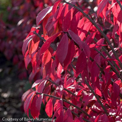 'Compactus' Winged Euonymus - Buy Plants Online