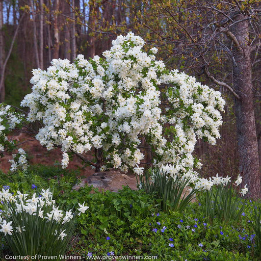 Snow Day® 'Blizzard' Pearl-bush - Buy Plants Online