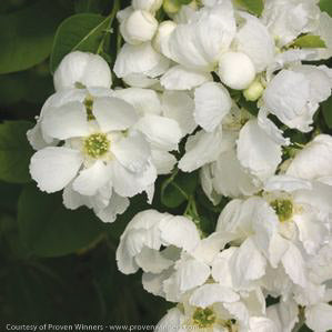 Snow Day® Surprise Pearl-bush - Buy Plants Online