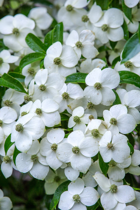 Empress of China® Dogwood