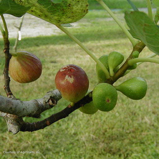 'Brown Turkey' Fig - Buy Plants Online
