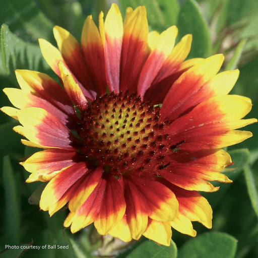 'Arizona Sun' Blanket Flower - Outside.com