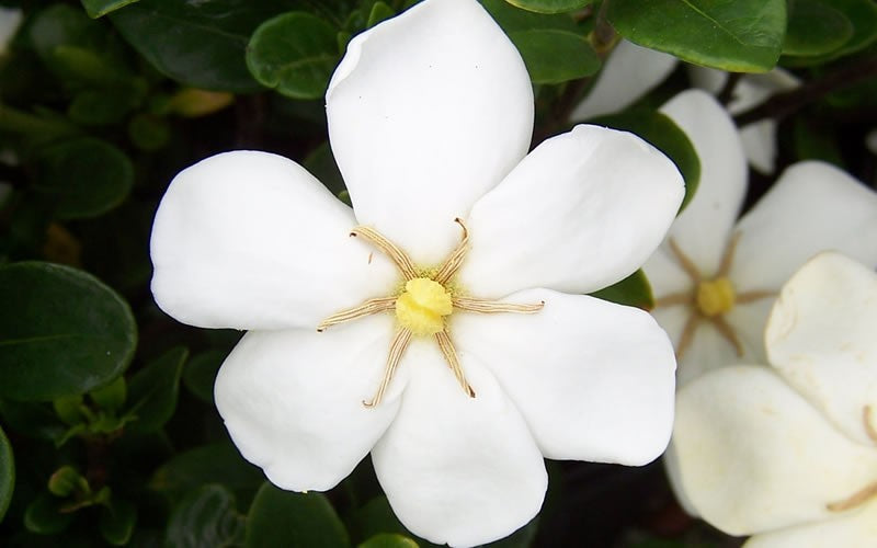 'Daisy' Gardenia up close, bloom