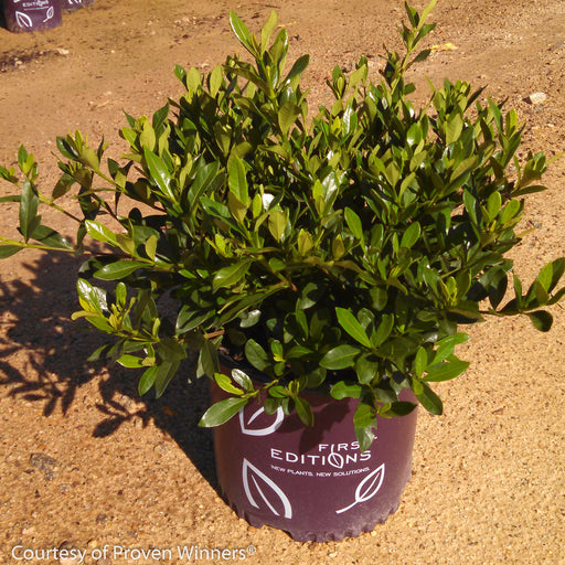 'Double Mint' Gardenia - Buy Plants Online