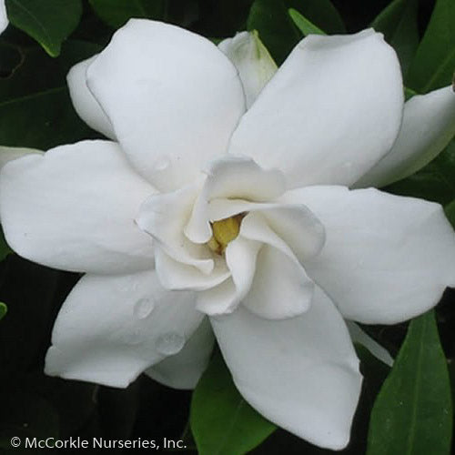'Frostproof' Gardenia - Buy Plants Online
