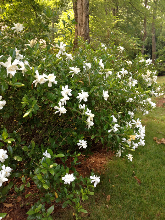 Heaven Scent® Gardenia - Buy Plants Online