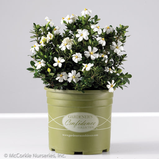 Heaven Scent® Gardenia in container