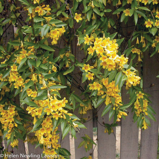 Carolina Jessamine - Outside.com