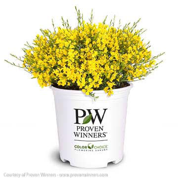 Bangle® Dyers Greenwood - Buy Plants Online