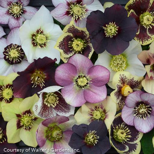 Lenten Rose Honeymoon™ Series Mix - Buy Plants Online