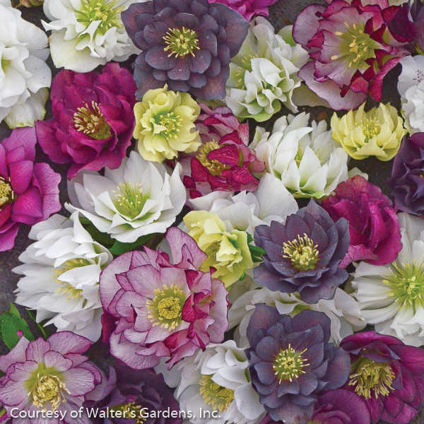 Lenten Rose Wedding Party™ Series Mix - Buy Plants Online