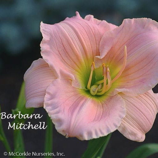 'Barbara Mitchell' Daylily - Buy Plants Online