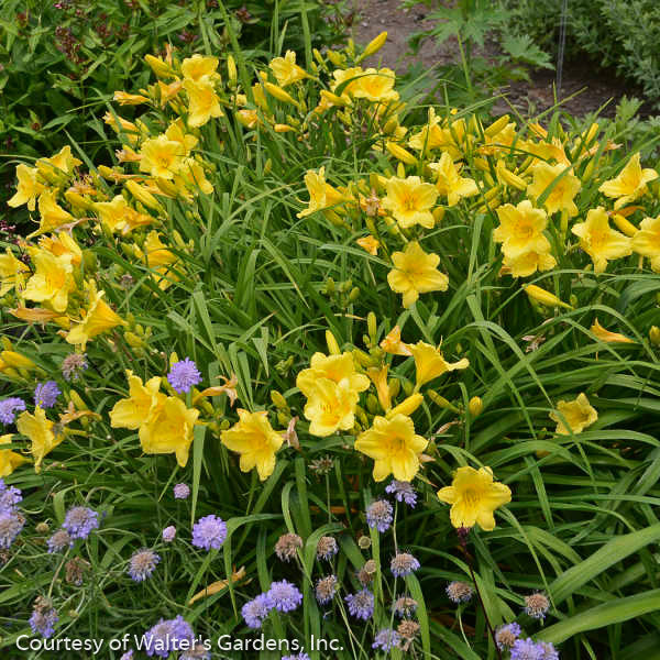 'Happy Returns' Daylily - Buy Plants Online
