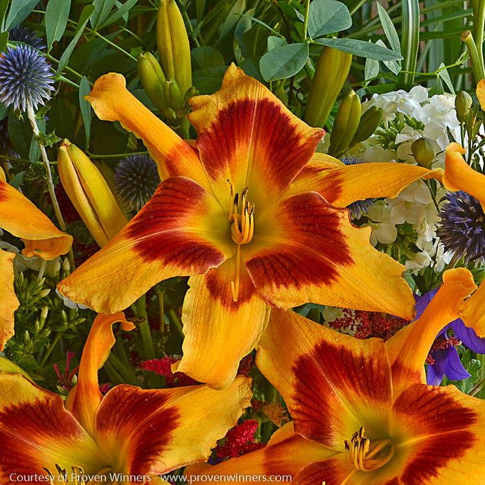 Rainbow Rhythm® 'Tiger Swirl' Daylily - Buy Plants Online