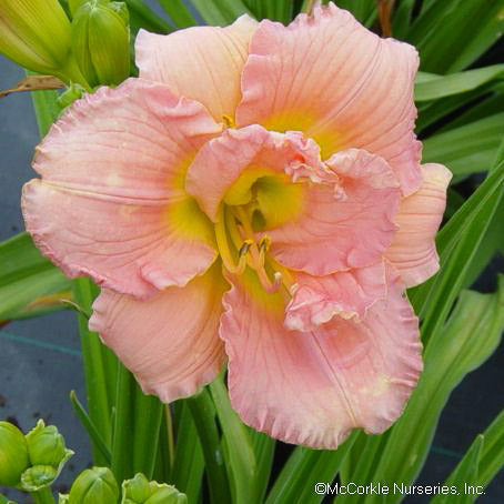 'Siloam Double Classic' Daylily - Buy Plants Online