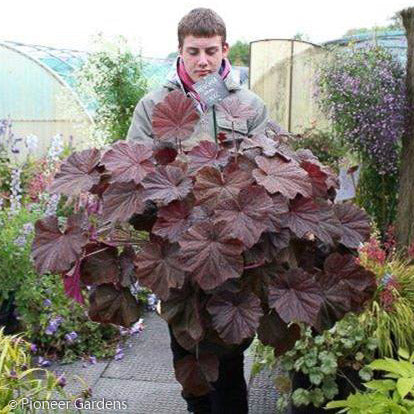 'Cloud Nine' Coral Bells - Buy Plants Online