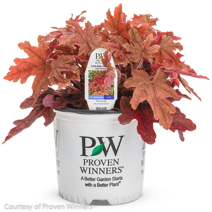 Fun and Games® 'Red Rover' Foamy Bells - Buy Plants Online