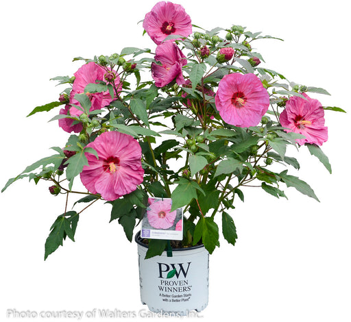 Summerific® 'Berry Awesome' Hibiscus in container