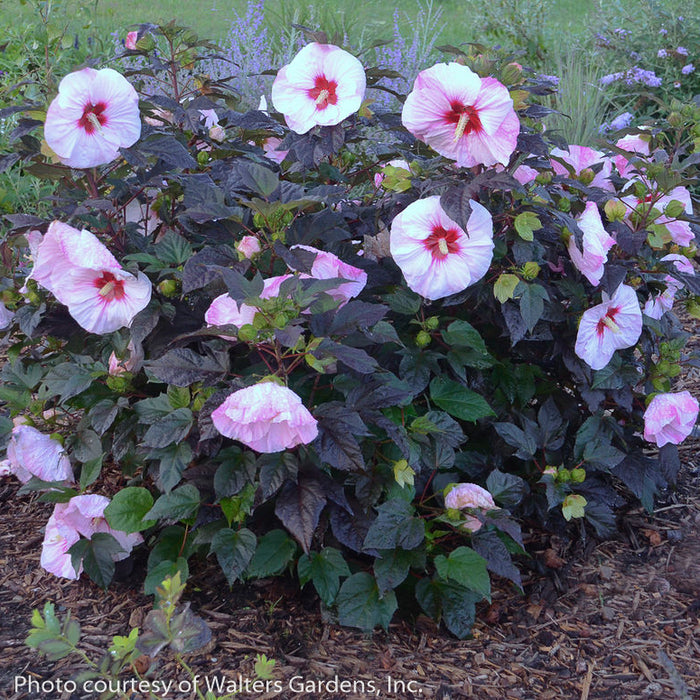 Summerific® 'Perfect Storm' Hibiscus - Buy Plants Online