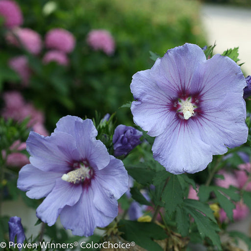 Azurri Blue Satin® Hibiscus - Buy Plants Online