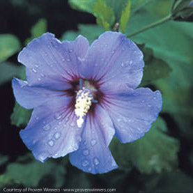 Blue Satin® Hibiscus - Buy Plants Online