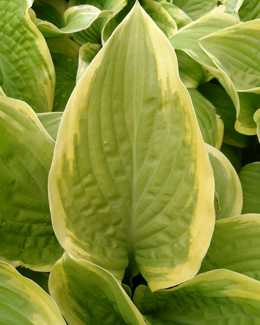 'Fragrant Bouquet' Hosta