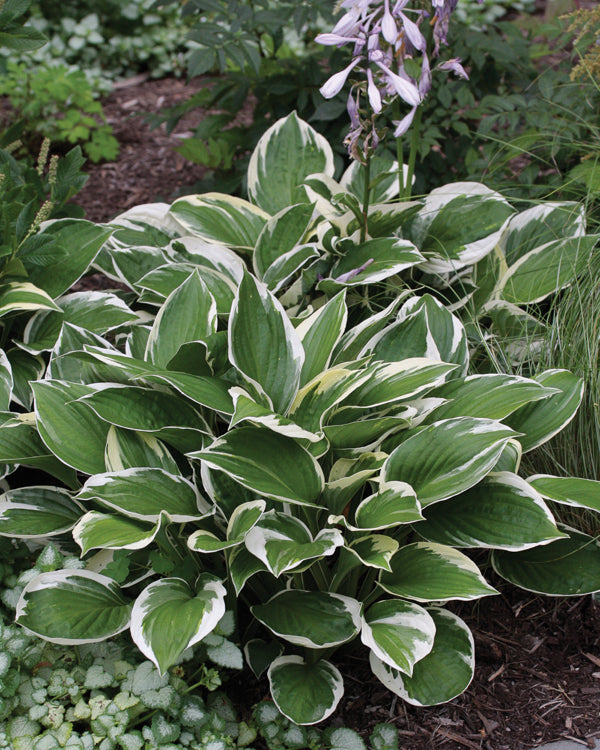 'Patriot' Hosta - Buy Plants Online