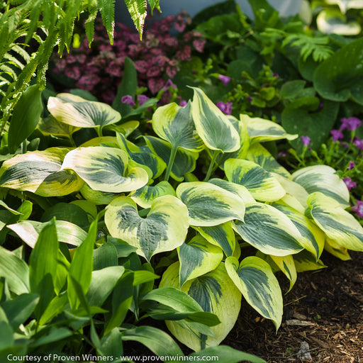 Shadowland® 'Autumn Frost' Hosta - Buy Plants Online
