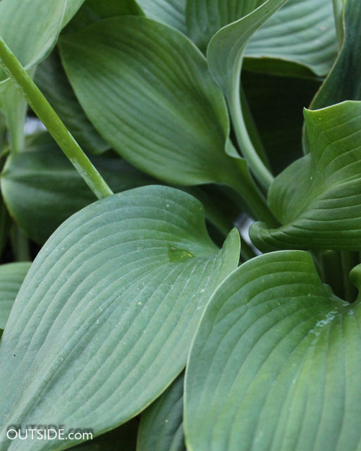 'Blue Angel' Hosta - Outside.com