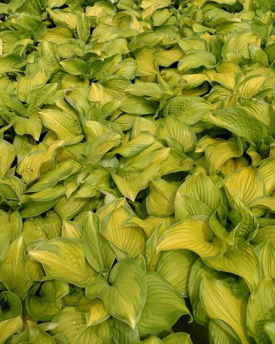 'Stained Glass' Hosta - Buy Plants Online