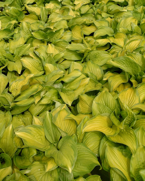 'Stained Glass' Hosta