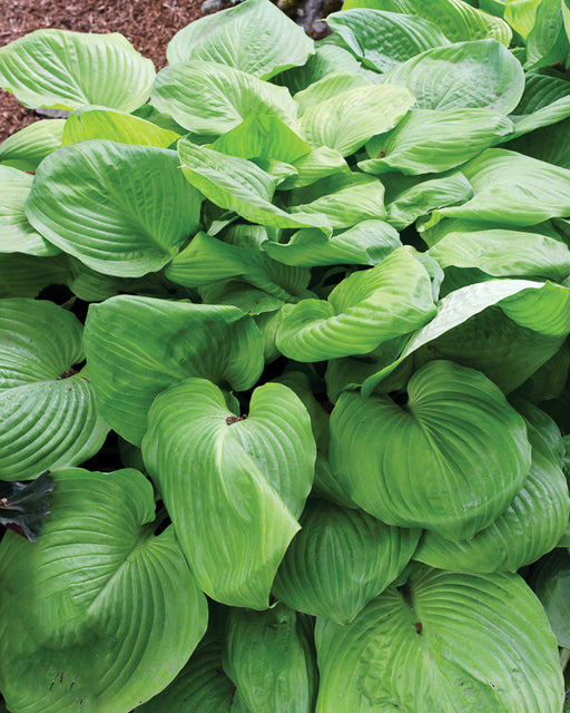 'Sum and Substance' Hosta - Outside.com