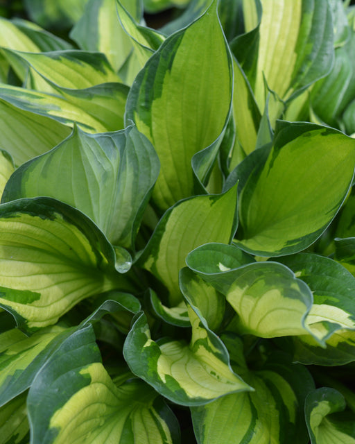'Whirlwind' Hosta - Outside.com