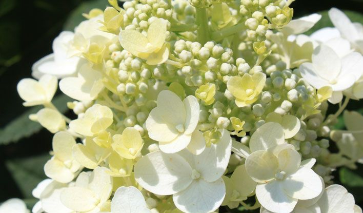 Baby Lace® Hydrangea - Outside.com