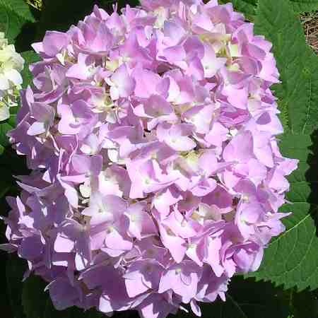 'Penny Mac' Hydrangea up close, bloom