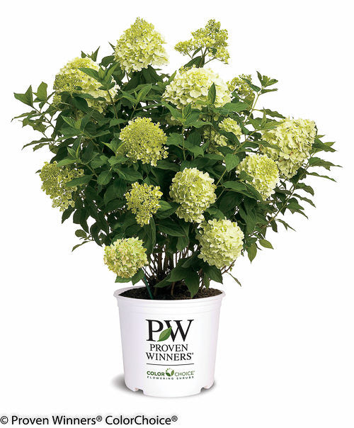 'Limelight' Hydrangea in container