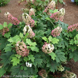Jetstream™ Hydrangea - Outside.com