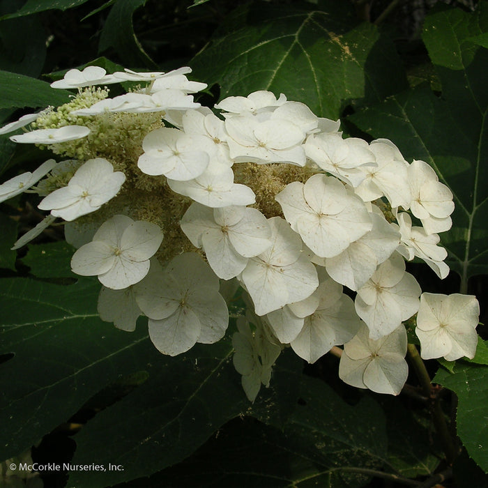 'Snow Queen' Hydrangea - Buy Plants Online
