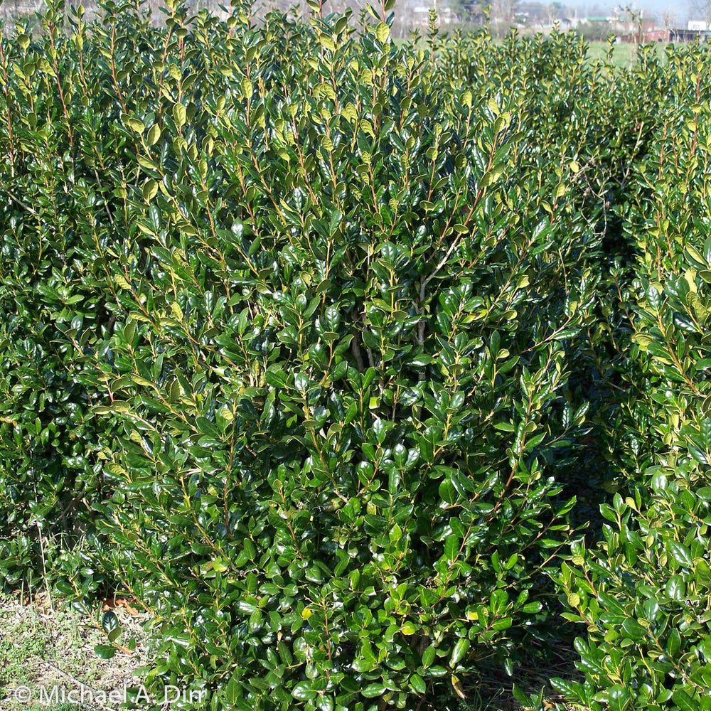 'Needlepoint' Holly - Buy Plants Online