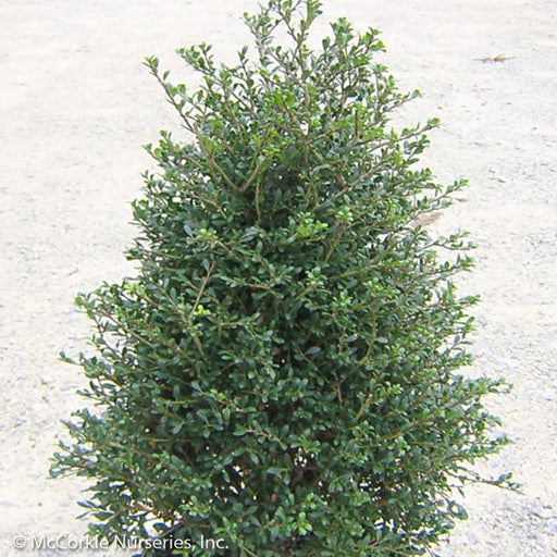 'Beehive' Holly - Buy Plants Online