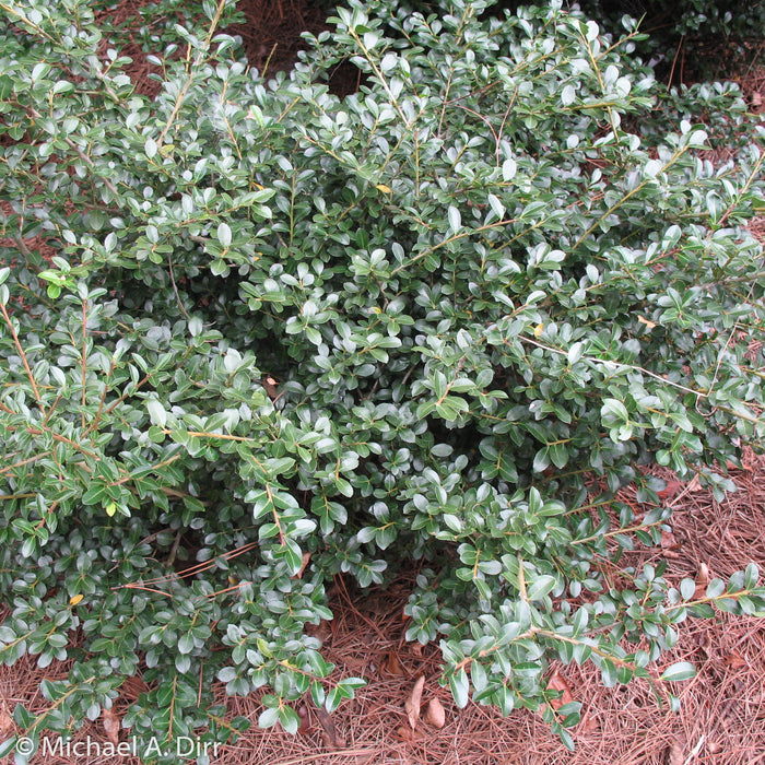 'Compacta' Holly - Buy Plants Online