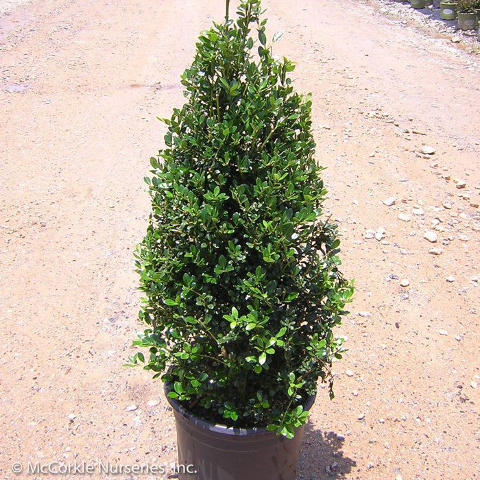 'Highlander' Holly - Buy Plants Online