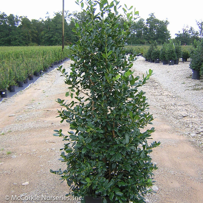 'Nellie R. Stevens' Holly in container