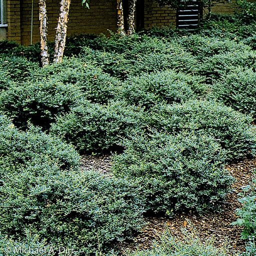 'Schilling's Dwarf' Yaupon Holly landscape shot