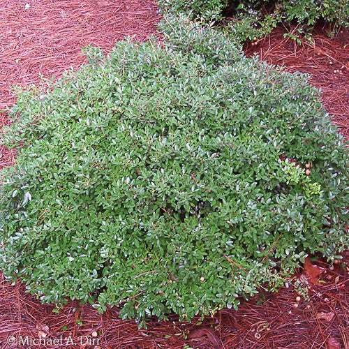 'Schilling's Dwarf' Yaupon Holly