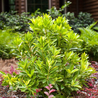 BananAppeal® Anise - Buy Plants Online